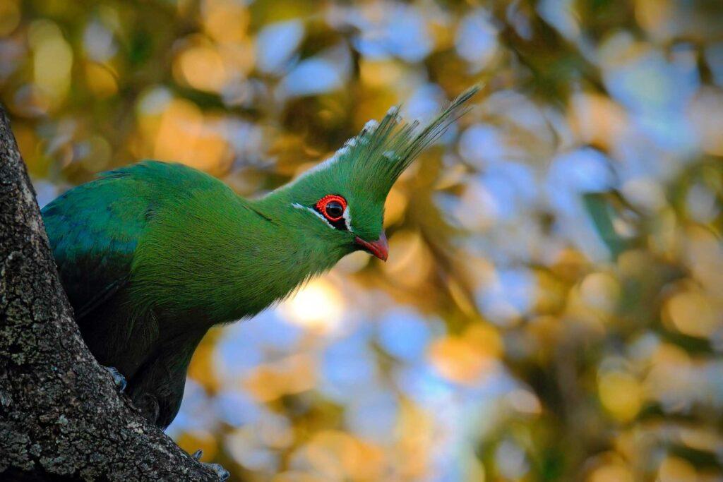Green turaco bird