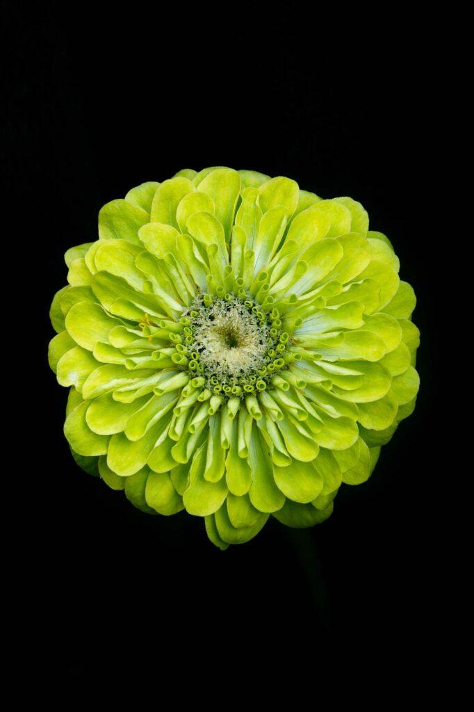 Green zinnia flower