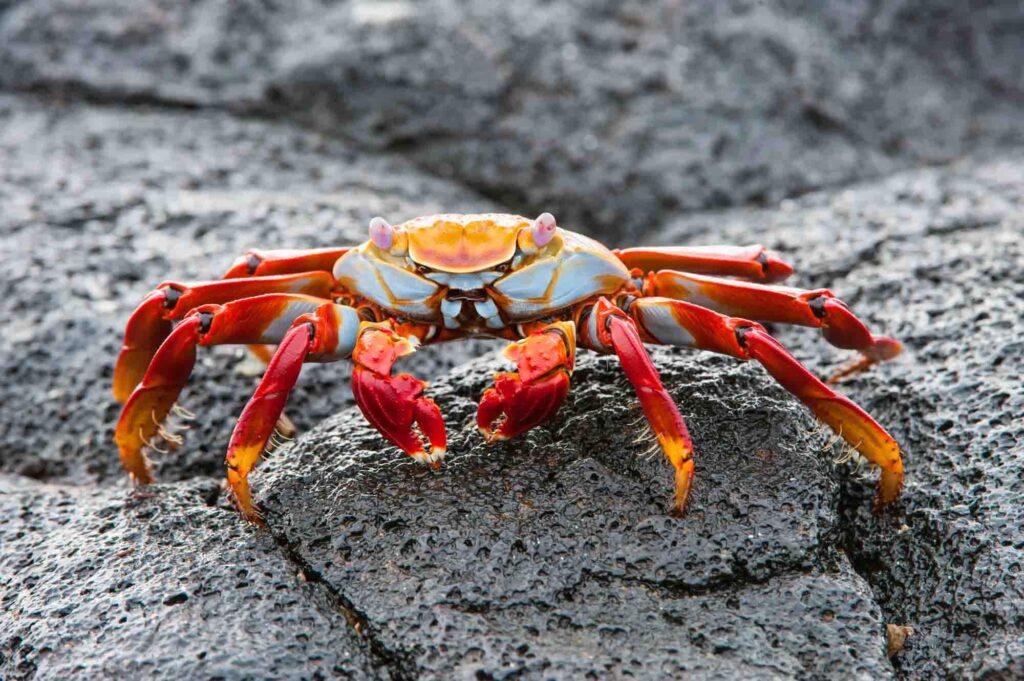 Red Sally Lightfoot Crab
