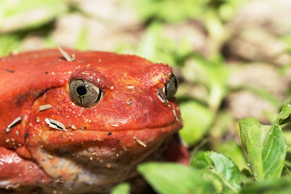 Red tomato frog