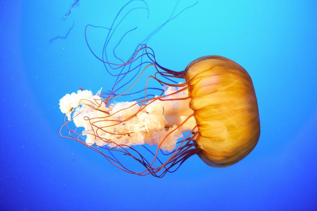 Yellow Pacific sea nettle
