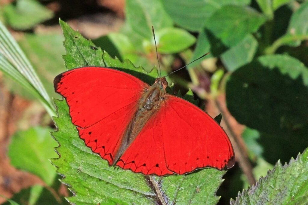 Red glider butterfly