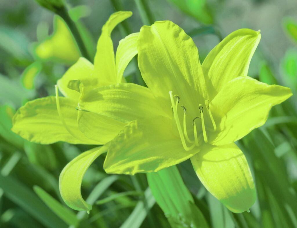 Green daylily flower