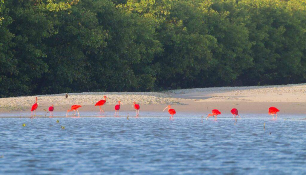 Red scarlet ibis