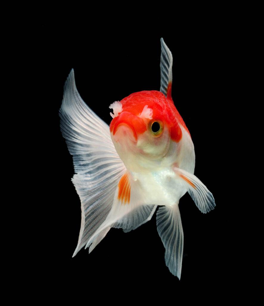 White and red goldfish