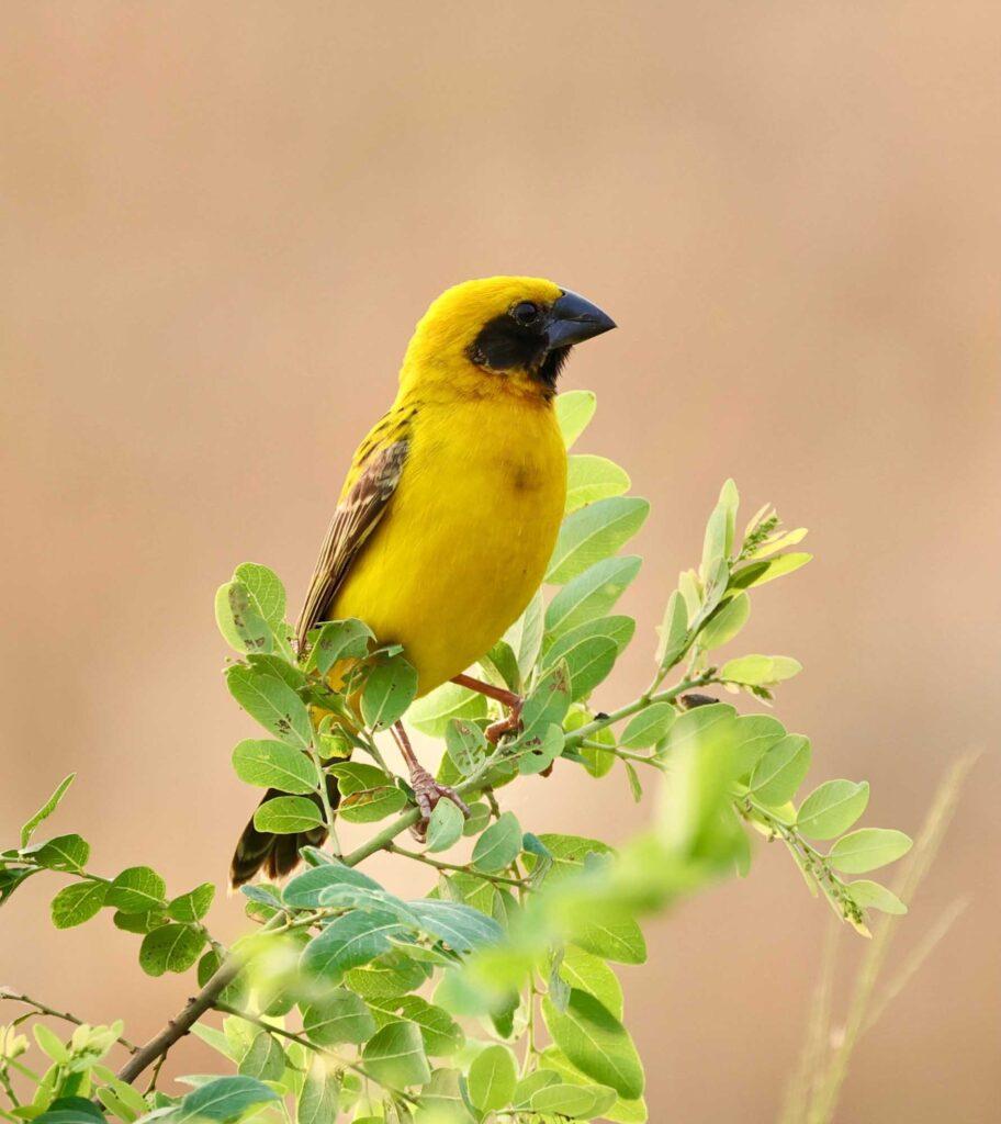 Yellow Asian golden weaver bird