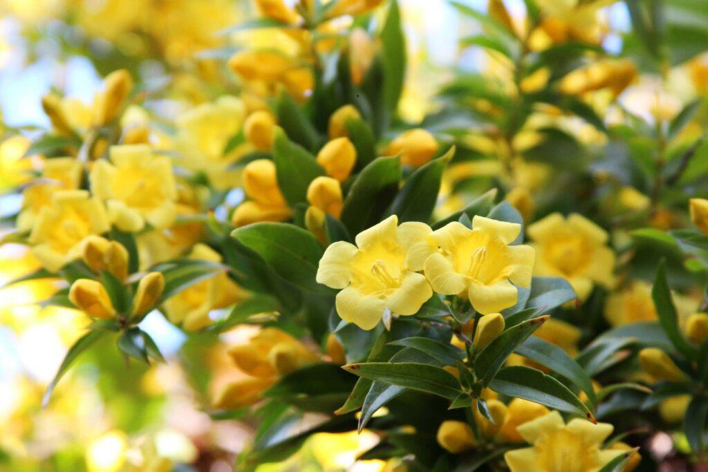 Yellow Carolina Jessamine