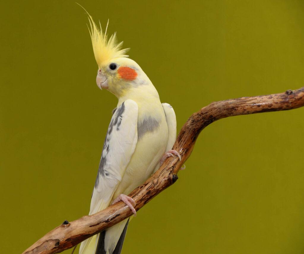 Yellow cockatiel