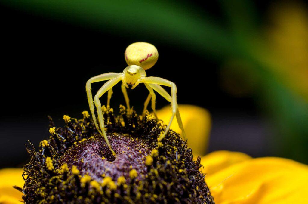 Yellow goldenrod crab spider