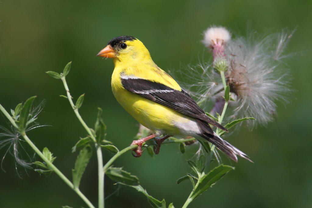 Yellow American goldfinch