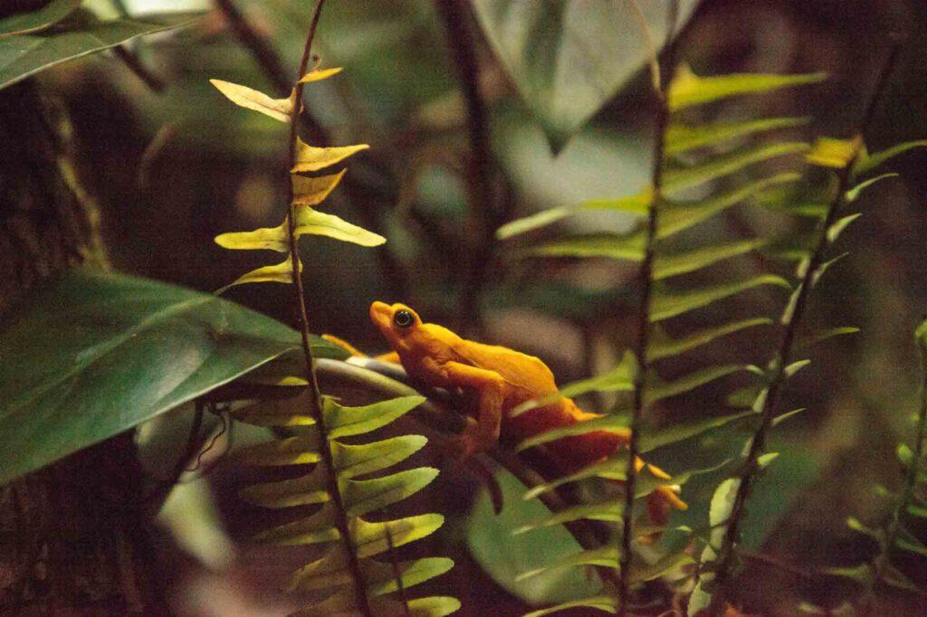 Yellow Panamanian Golden Frog