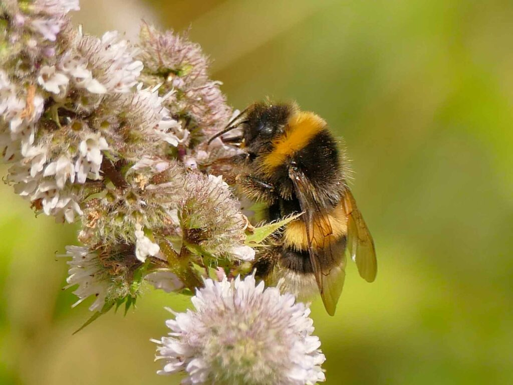 Yellow white-tailed bumblebee