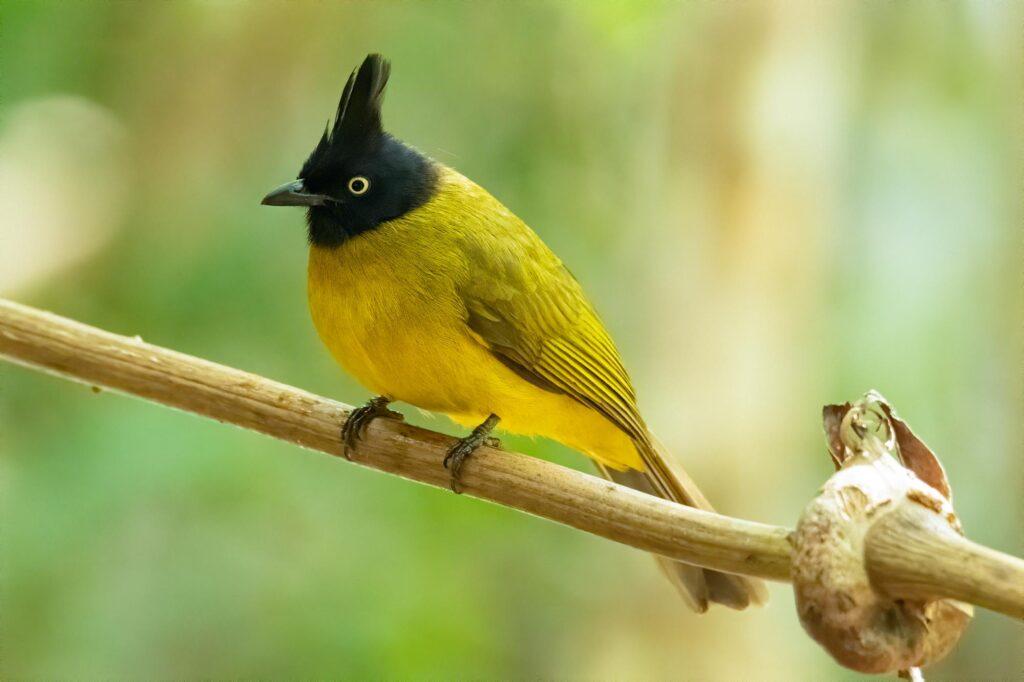 Yellow Black-crested Bulbul
