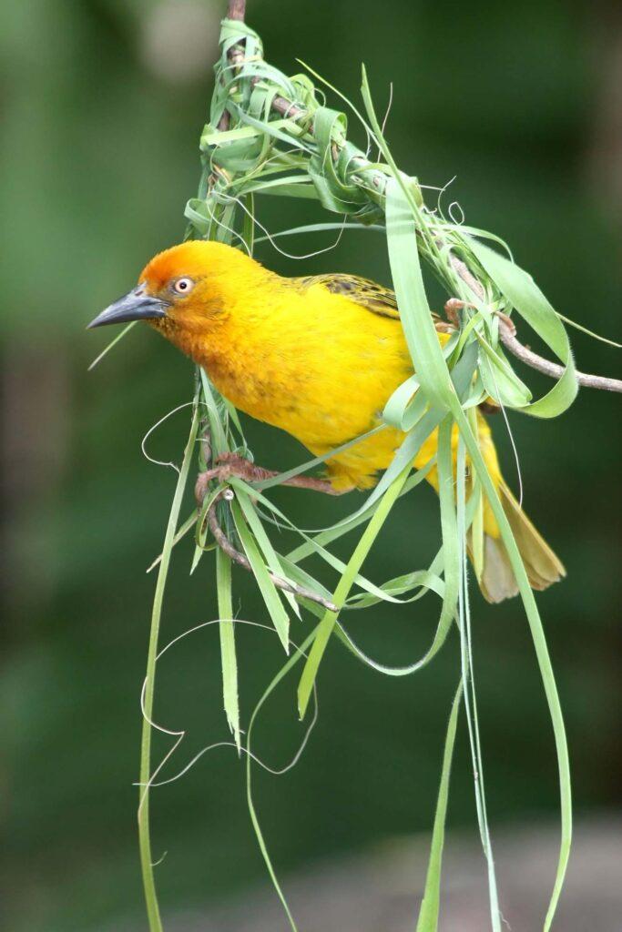 Yellow cape weaver