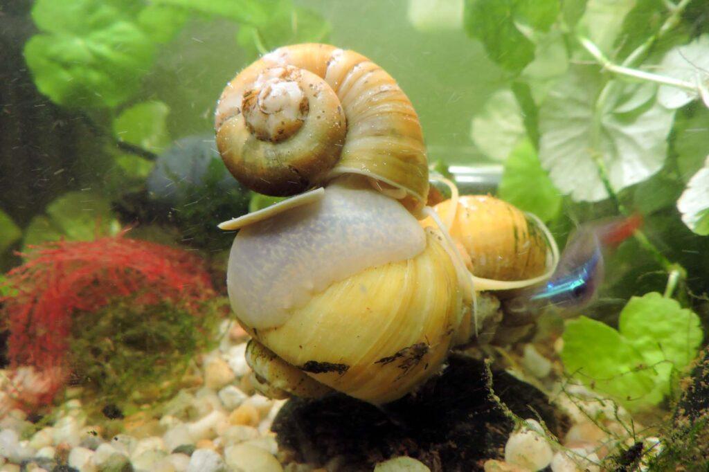 Yellow golden apple snails