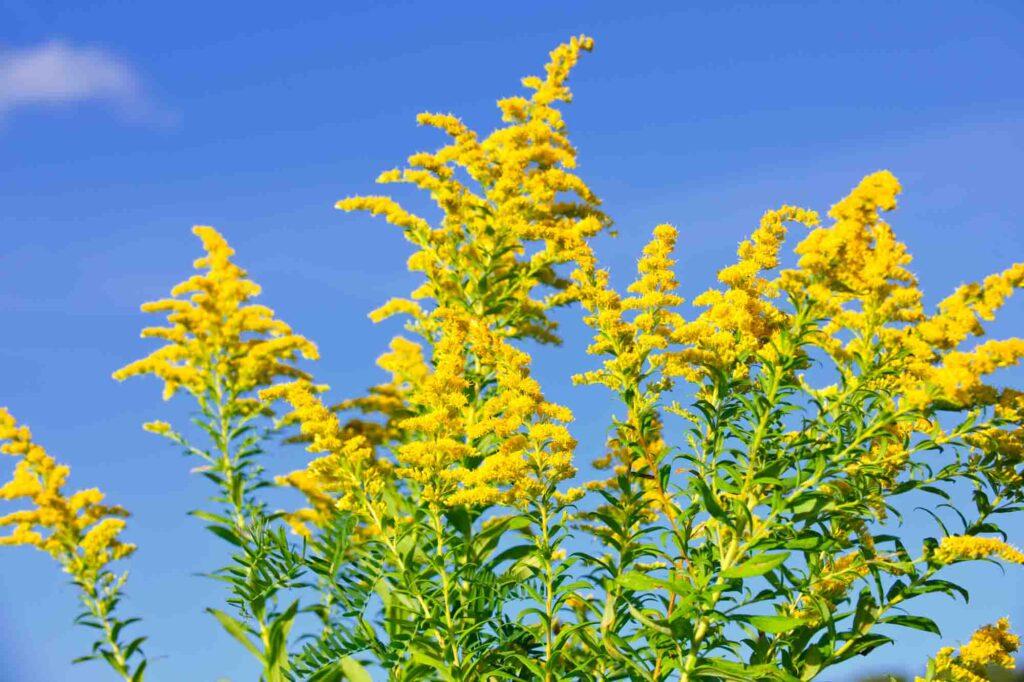 Yellow goldenrod plant