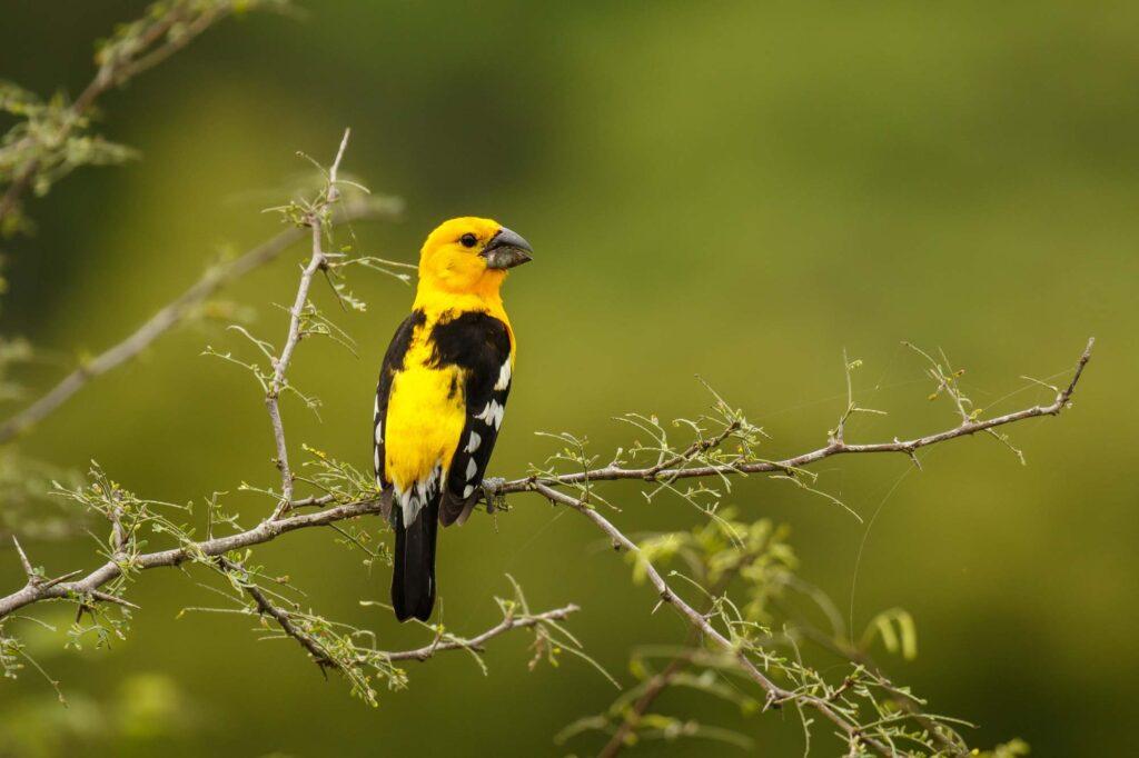 Yellow Mexican grosbeak