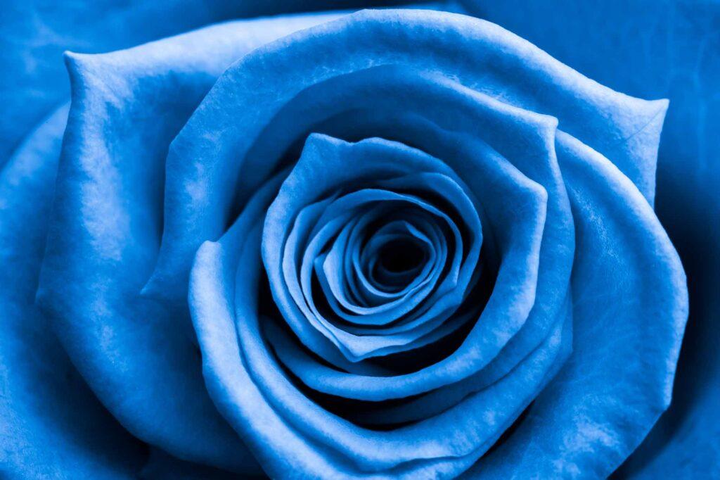 Close up of blue rose