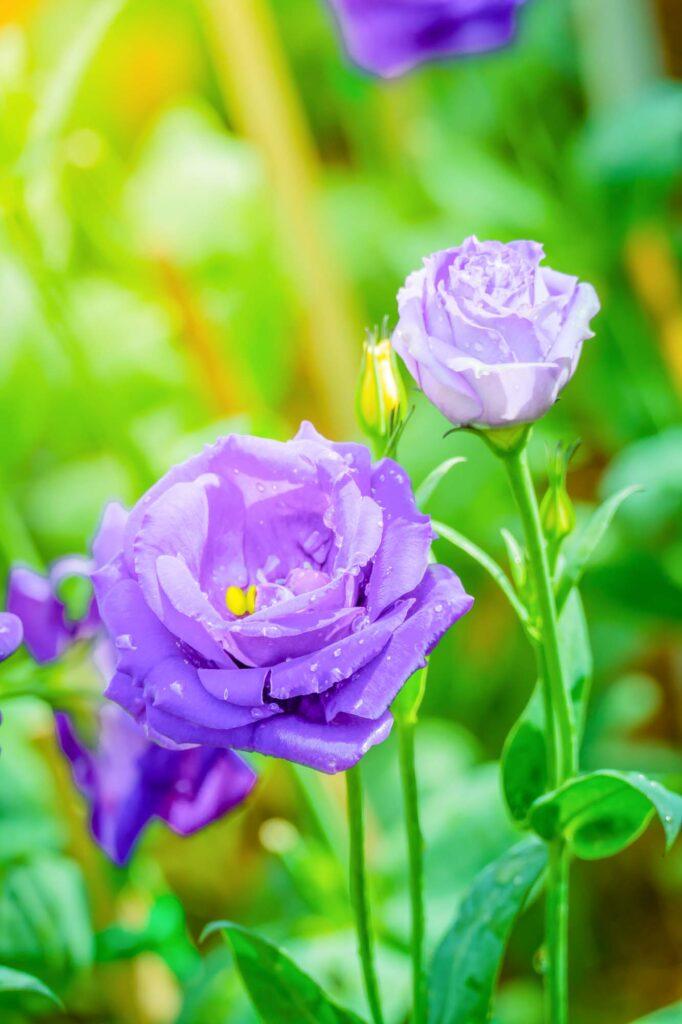 Lavender rose color meaning