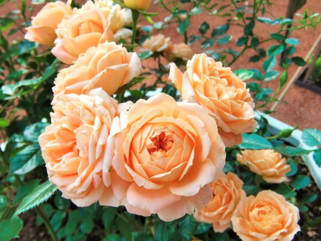 Peach rose color meaning