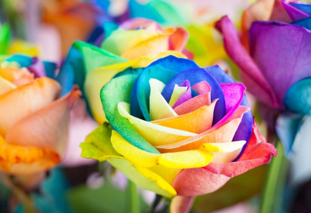 Rainbow rose color meaning