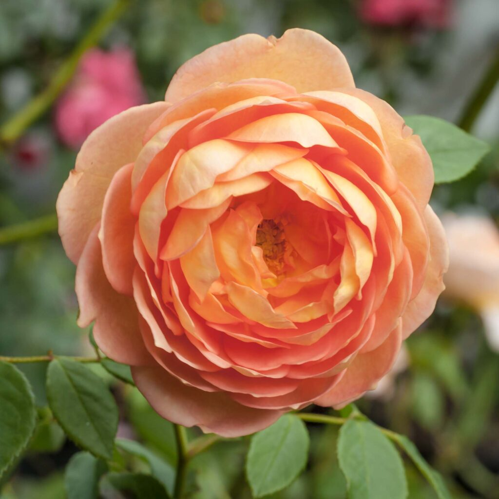 Salmon rose color meaning