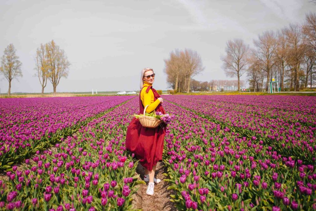Yellow, red, purple, and green colors on a tulip field