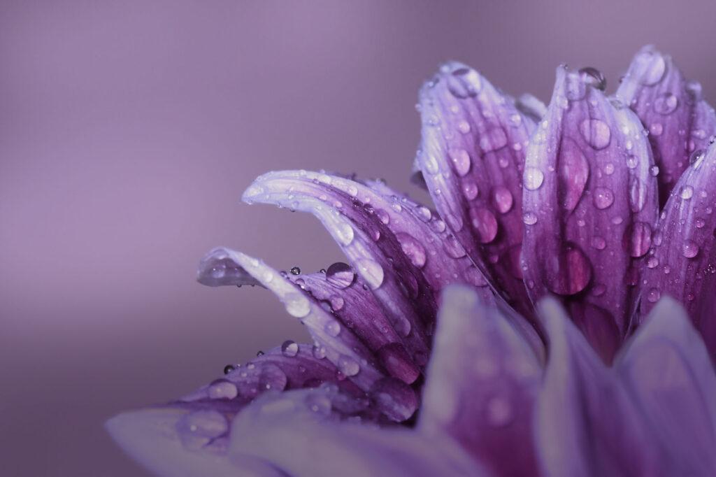 Purple gerbera
