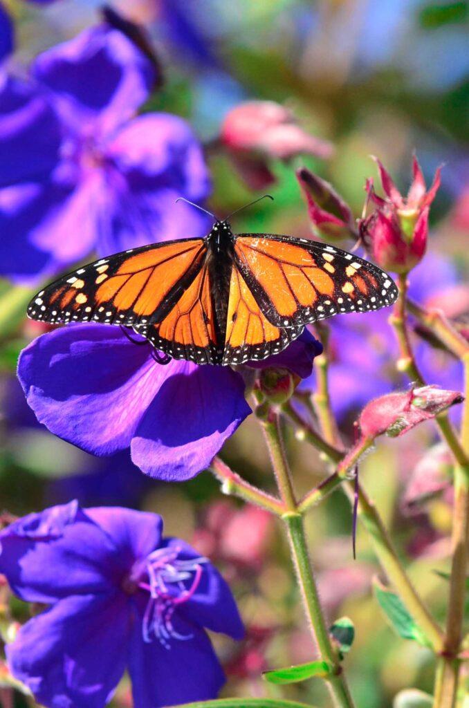 Orange monarch butterfly on purple flowers