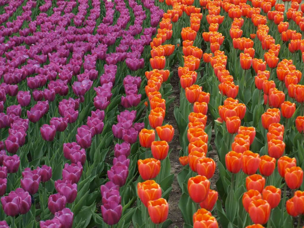 Orange and purple tulips with green leaves are the perfect example of triadic colors