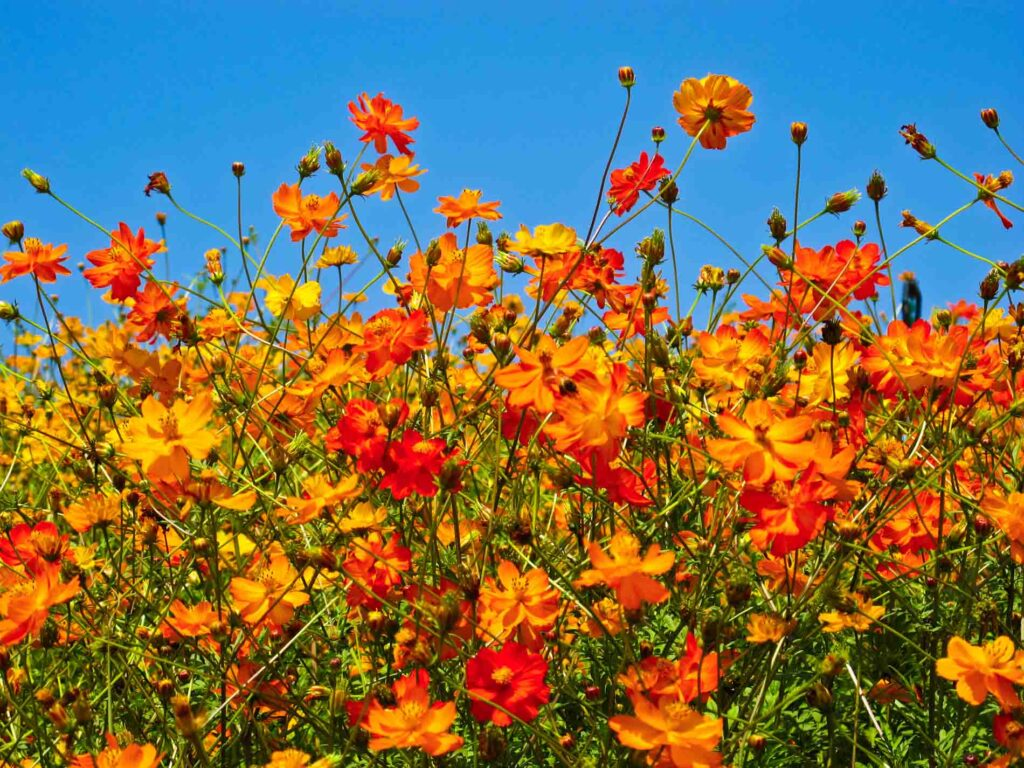 Orange and red flowers against a blue sky