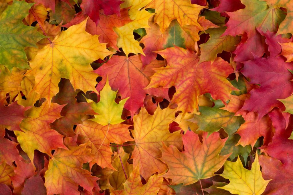 Red, orange, and yellow fall foliage, analogous colors