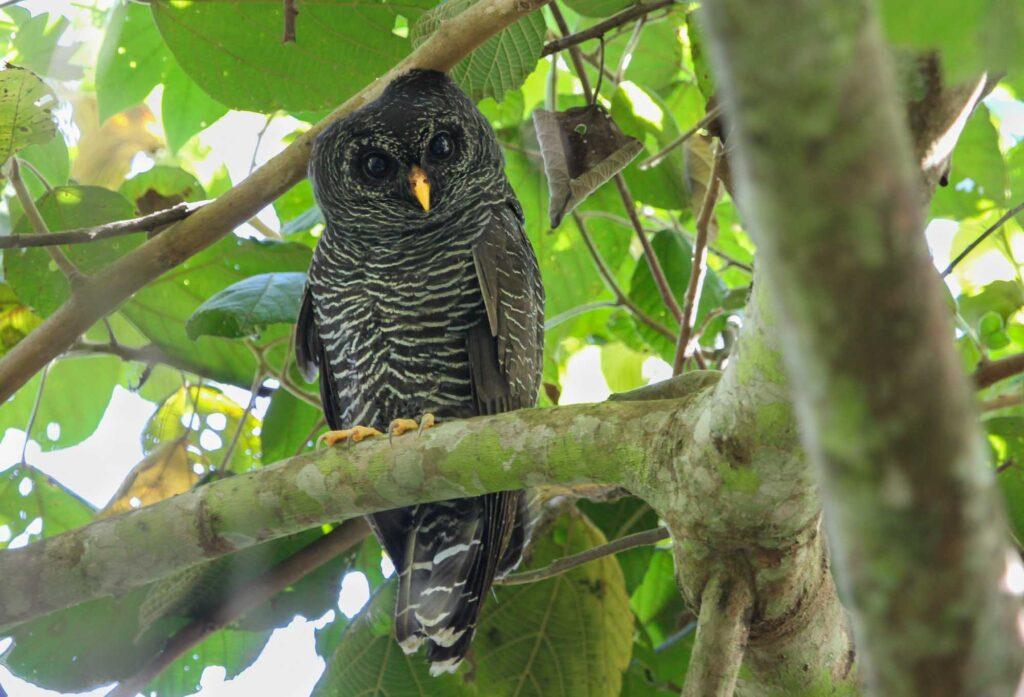 Black banded owl