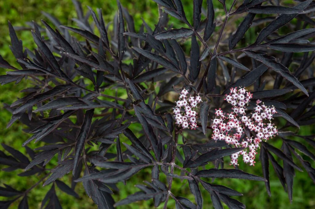 Black lace elderberry with pink flowers