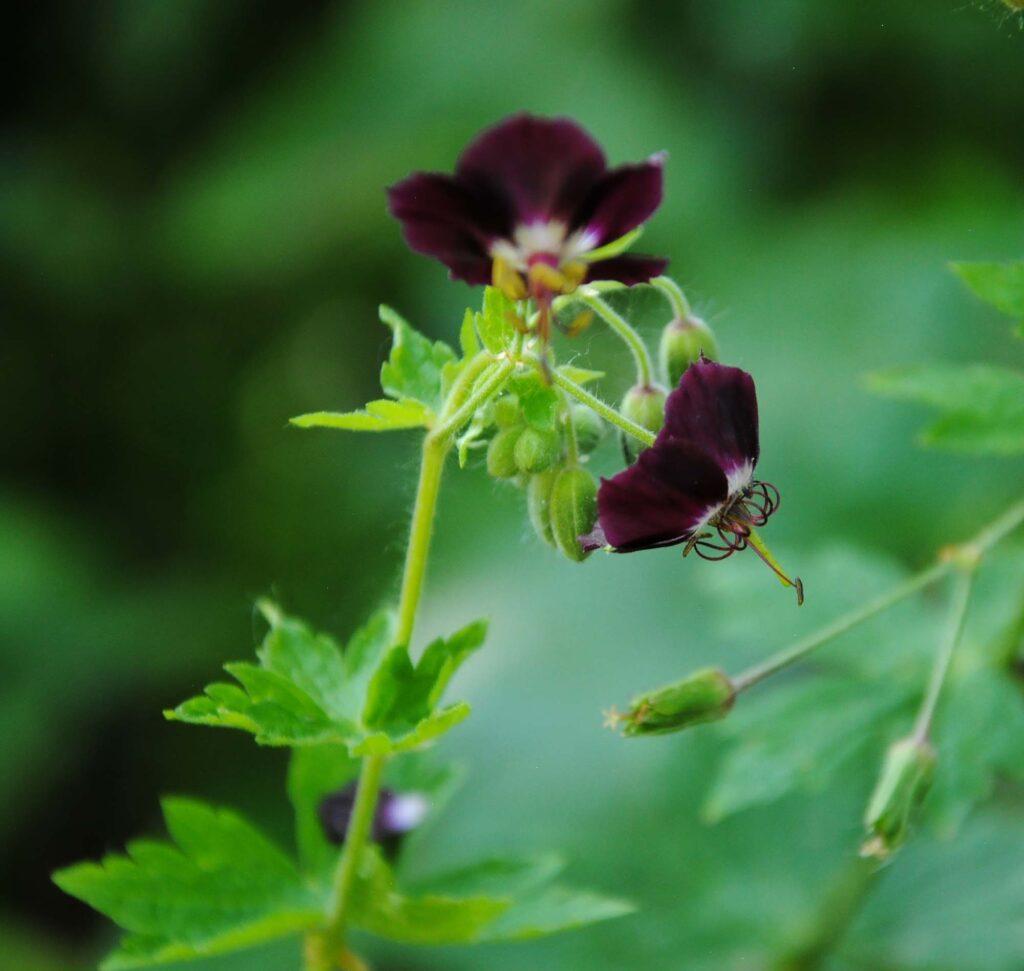 Black Widow Cranesbill Geranium