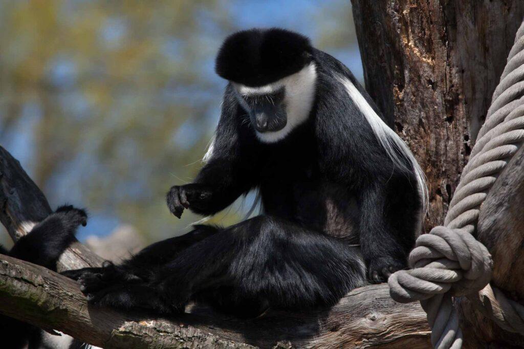 Black mantled guereza monkey