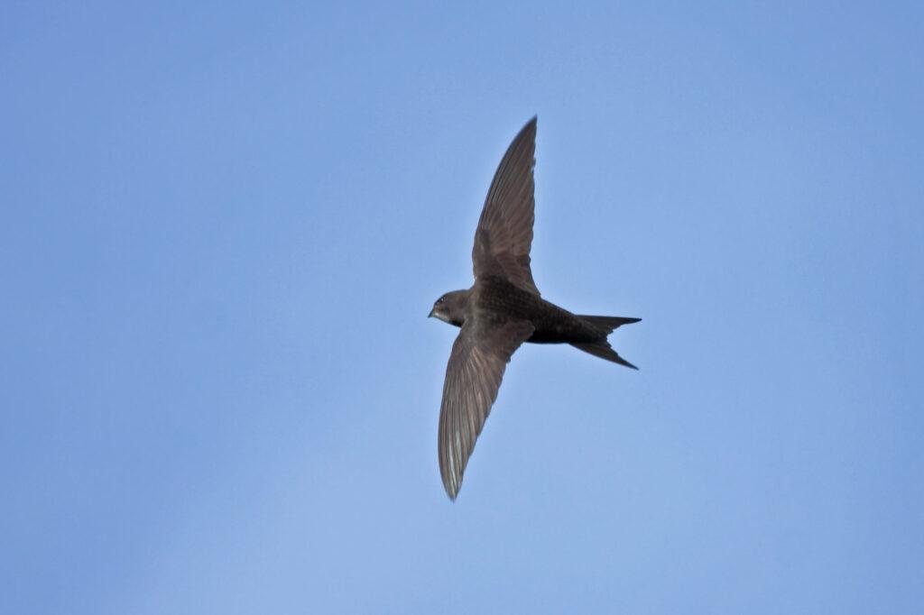 Black common swift