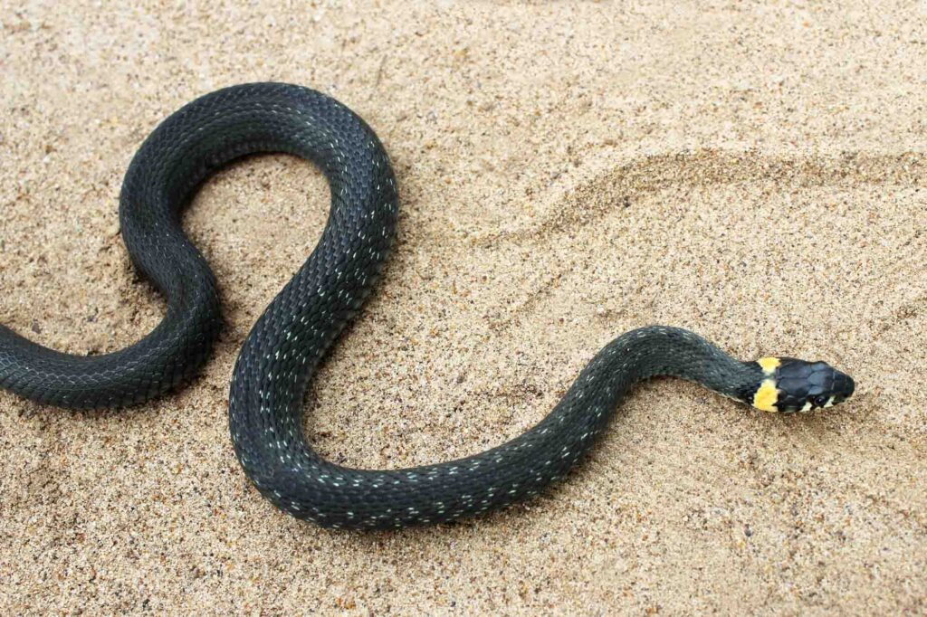 Black grass snake