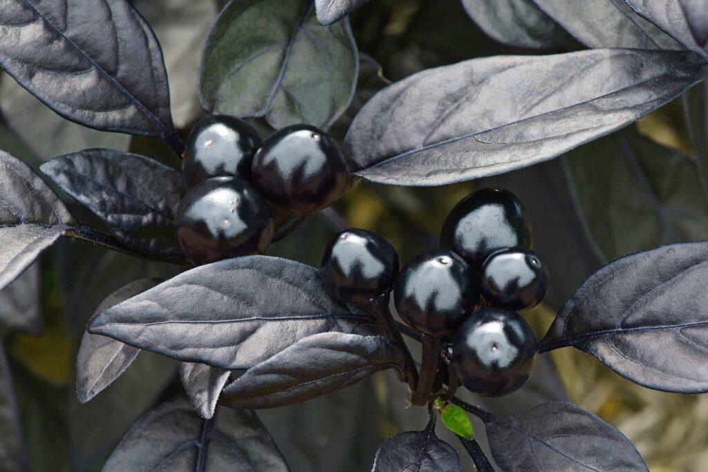 Black pearl ornamental pepper