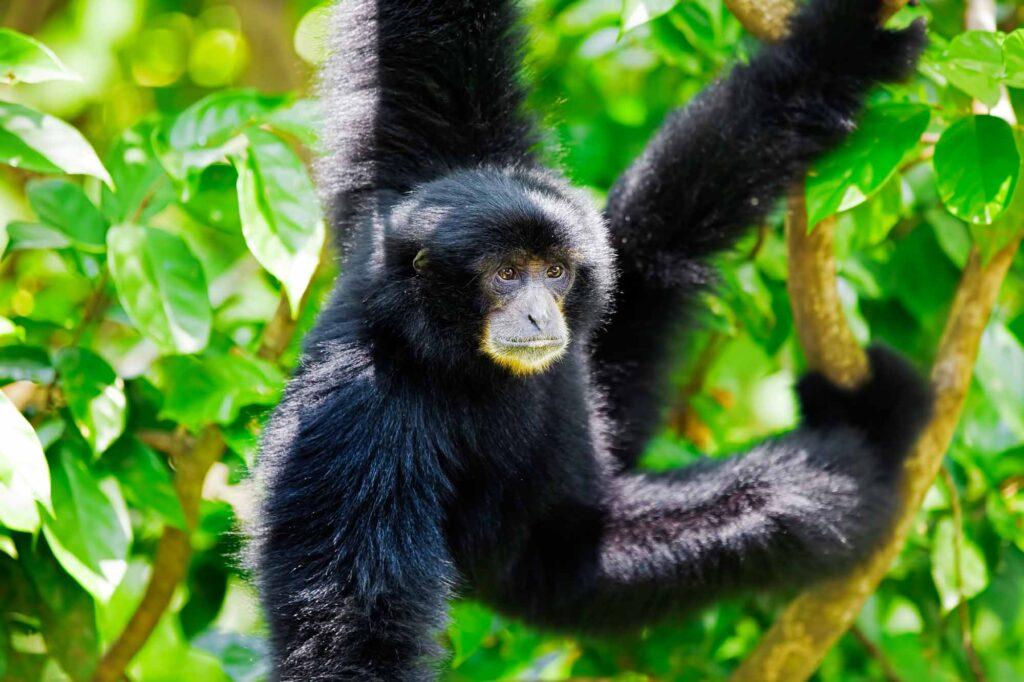 Black Siamang Gibbon