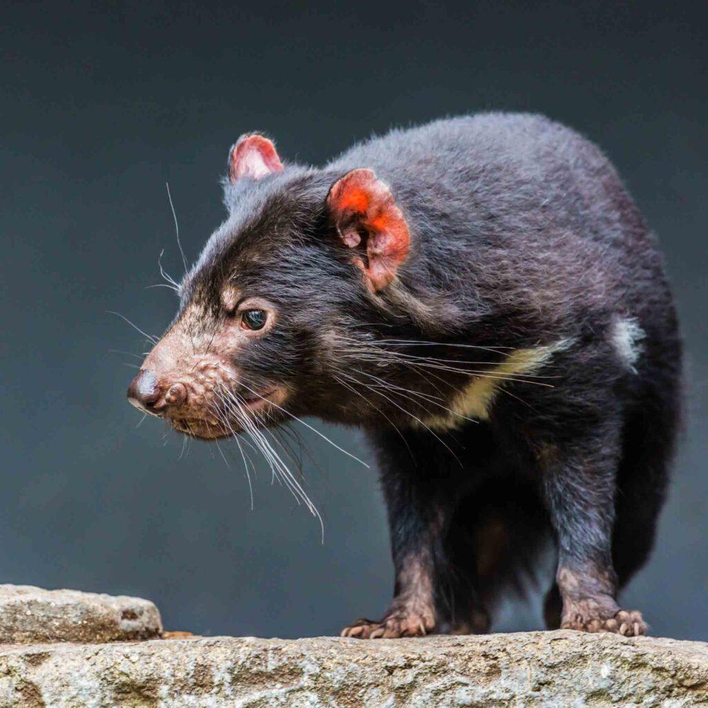 Black Tasmanian devil