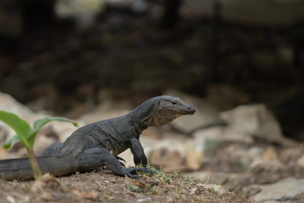 Black varanus salvator lizard