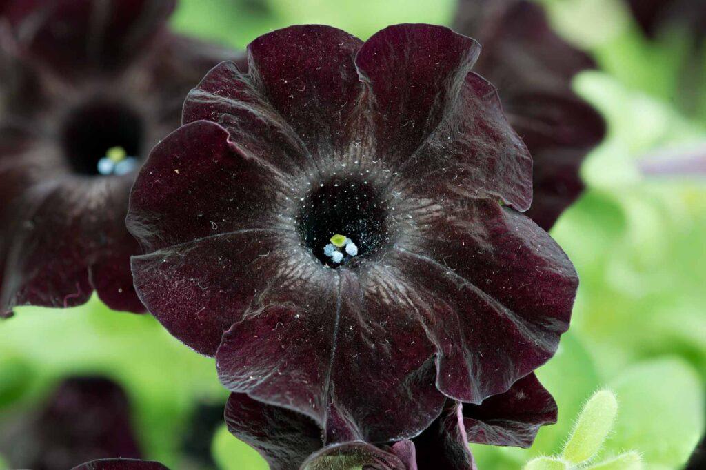 Black velvet petunia flower
