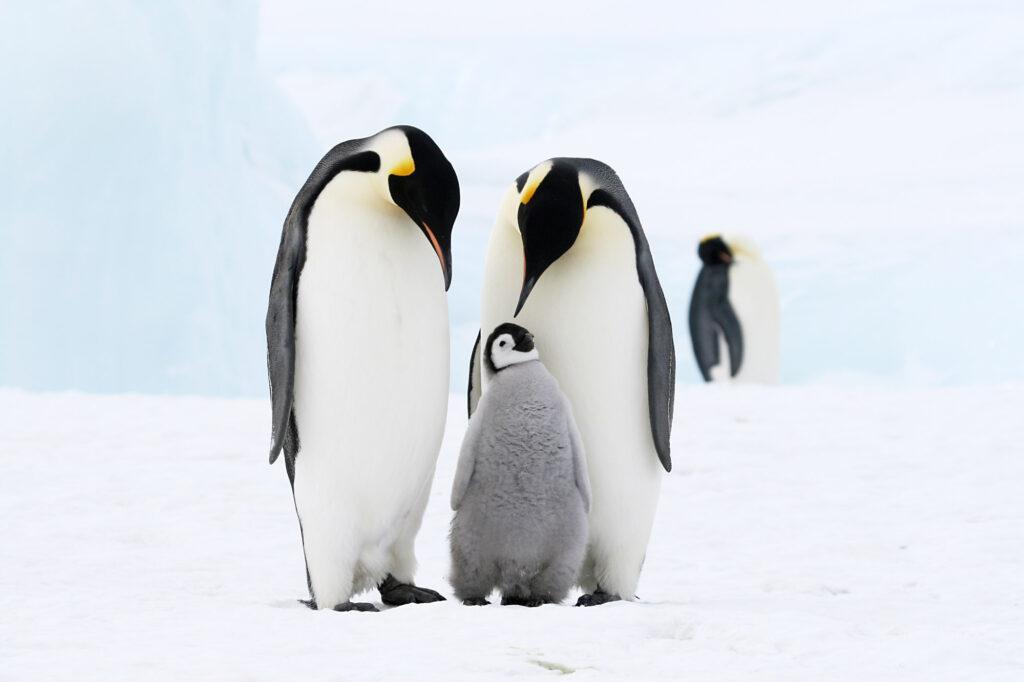 Black, white, and gray penguins