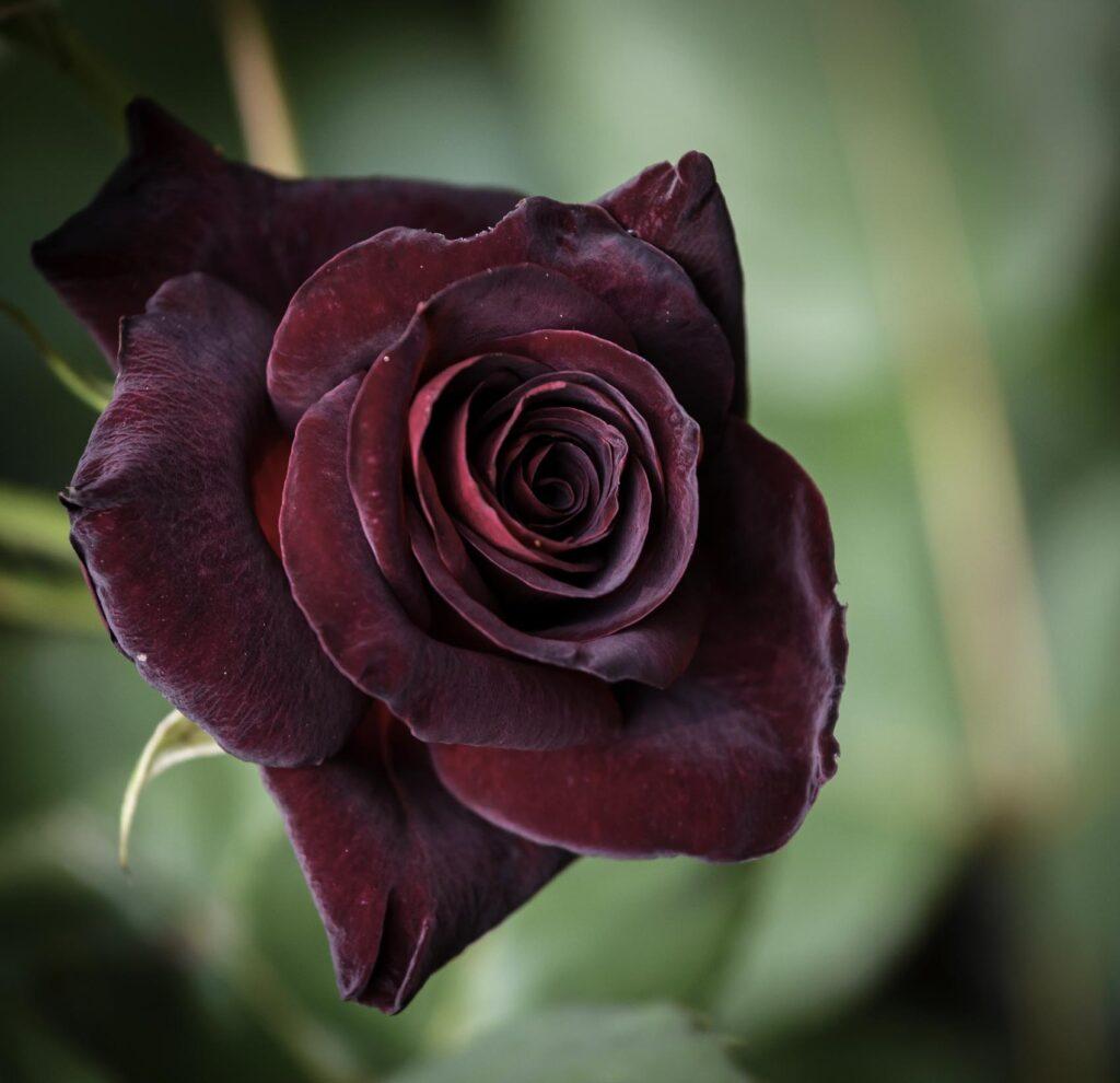 Dark red black baccara rose